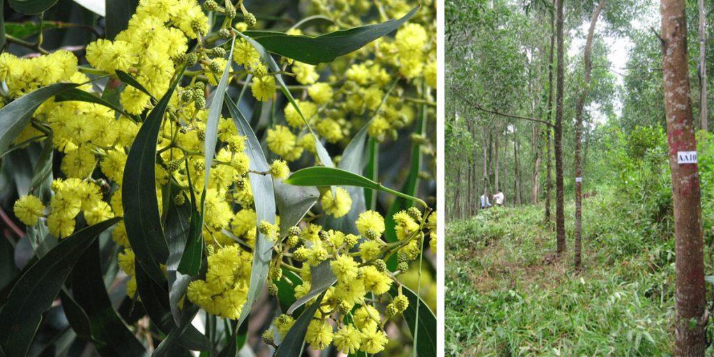 acacia-trees-2